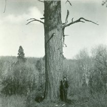 Image of Large Ponderosa Tree