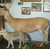 Image of Taxidermy Deer
