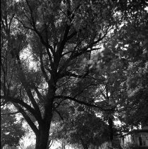 Image of Tree - Bertha Totten Home 836