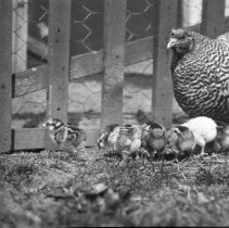 Image of Hen and Chicks - 04/23/1919