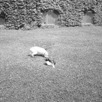Image of Cat and dog on lawn (2) - 06/20/1938