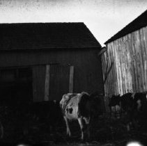 Image of Dairy cow pen -