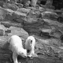 Image of Polar bear(s) at Brooklyn's Prospect Park Zoo (2) - 09/10/1938