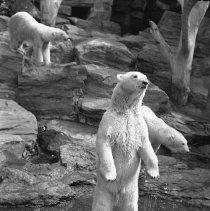Image of Polar bear(s) at Brooklyn's Prospect Park Zoo (3) - 09/10/1938
