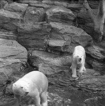 Image of Polar bear(s) at Brooklyn's Prospect Park Zoo (4) - 09/10/1938