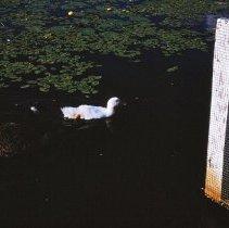 Image of Ducks at Sasajewun