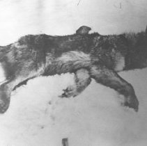 Image of 113 - A poisoned wolf carcass.