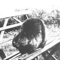 Image of 285 - Live trapped beaver for use at the Lands and Forests exhibit at the Canadian National Exhibition.