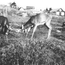 Image of Deer sparring in front of the Highland Inn, Cache Lake.