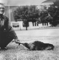 Image of 420 - Jack Gervais with beaver captured for Canadian National Exhibit.