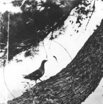 Image of 433 - Spruce Grouse, near Cranberry Lake.