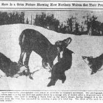 """Image of 438 - """"Here is a Grim Picture Showing How Northern Wolves Get their Prey""""."""