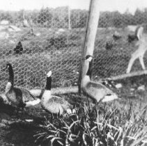 Image of 1929 - Canada Geese in enclosure at Algonquin Park Headquarters, Cache Lake.