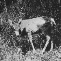 Image of 767 - White tailed deer