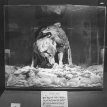 Image of 923 - Timber Wolf Display, Algonquin Park Museum.