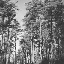 Image of 964 - Pine