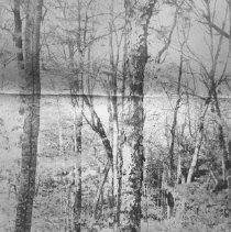 Image of Yellow Birch.