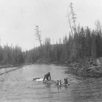 Image of 1897 - Swimming horses and wagon across a river.