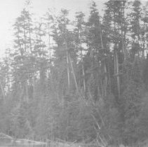 Image of Stand of pine on J.R. Booth Limits, Opeongo River.