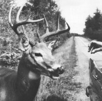 Image of 1245 - Feeding Deer on Highway 60.