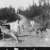 Image of 1825 - Deer on Hwy. 60 near Cache Lake.