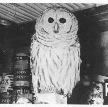 Image of 1849 - Barred Owl in museum basement.