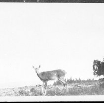 Image of 1919 - A deer on the chip yard, Canoe Lake.