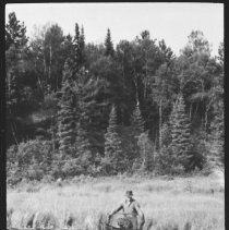 Image of 1946 - Live trapping beaver.
