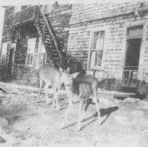 Image of 1948 - Deer at Algonquin Hotel, Joe Lake.