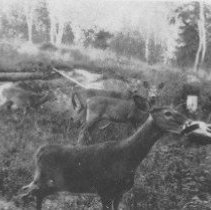 Image of 2381 - Deer at Hotel Algonquin.