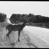 Image of Deer along Highway 60 near Cache Lake.