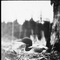 Image of 1931 or 1932 - Loon's Nest, Little Joe Lake portage.