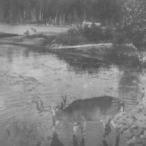 Image of 3118 - Deer drinking at Joe Lake.