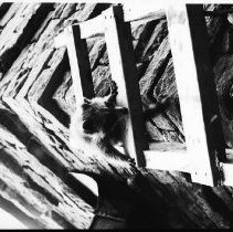 Image of 3285 - raccoon at Algonquin Park Museum