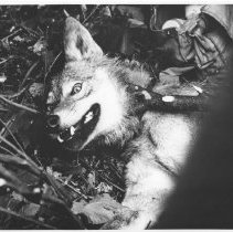 Image of 1963 - Close-Up of Wolf Showing the Alertness of the Specimen