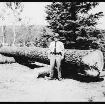 Image of 4095 - Harold Hanes the Chief Ranger Standing in Front of the White Pine