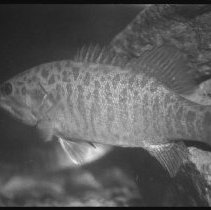 Image of 4377 - Smallmouth bass.