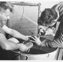 Image of 4516 - N.V. Martin holds speckled trout as N. Baldwin stuffs cotton into nostrils