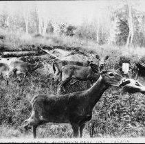 Image of 5172 - Feeding deer at Hotel Algonquin, Joe Lake