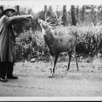 Image of 5194 - C.P. Stocking, feeding deer along Hwy. #60
