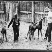Image of 5689 - Feeding young moose at the Wildlife Research Station (during the tick study), Sasajewun Lake, 1980.