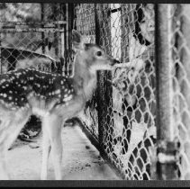 Image of 5690 - Feeding young deer at the Wildlife Research Station (during the tick study), Sasajewun Lake, 1980.
