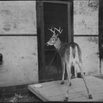 Image of 6296 - Deer on porch of building