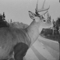 Image of 6299 - Man with deer on highway