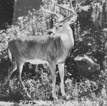 Image of 6792 - Red Deer