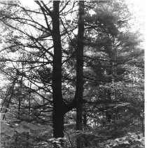 """Image of 3275 - White pine trees, joined which forms """"H"""" shape"""