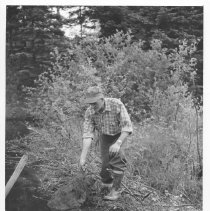 Image of 3922 - Art Middleton Removing a Beaver From a Trap