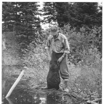 Image of 3923 - Art Middleton Examining a Dead Beaver After Removing it From a Trap