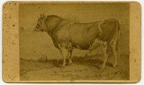 Image of Photo/CDV2590 - Cattle