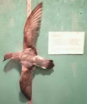 Image of Specimen, Mounted - Antarctic Prion mounted in flight position, wings above and below body for mounting against vertical surface.Beach-wrecked at Orari River mouth beach May 2000.